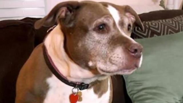 Police show up to catch loose pit bull, soon realize it's saving owner from gas leak