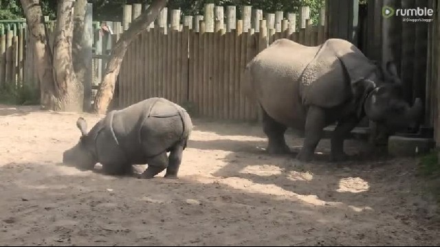 Baby Rhino Doesn't Want To Go Inside And Playfully Evades His Keepers - Cute Videos