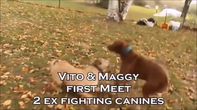 Two former fighting dogs meet for the first time – their reaction leave everyone in tears