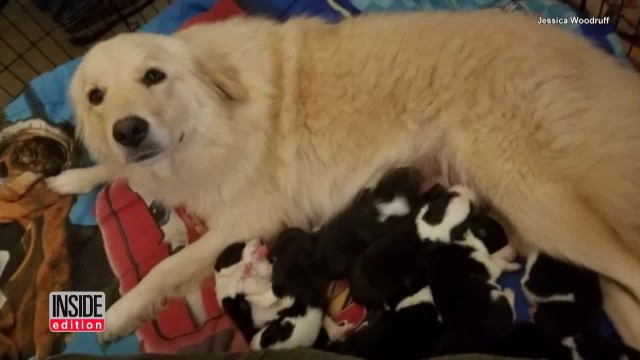 Depressed Mama Dog Who Lost Her Puppies To Barn Fire Meets A Litter Of Orphans