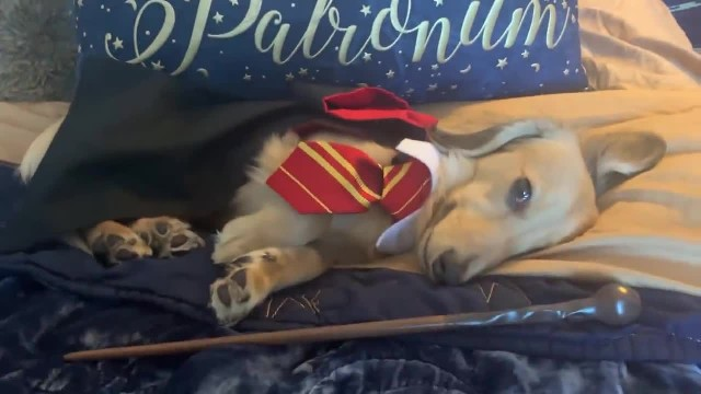 my dog only responds to Harry Potter spells. (1)
