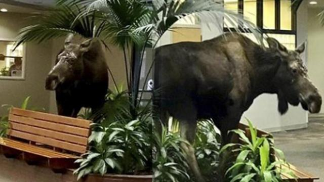 Moose enters Alaskan hospital for routine checkup
