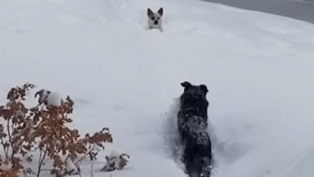 Dad cracks up watching big dog plow path for tiny friend stuck in snowdrift.