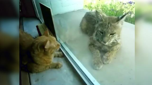 "House cat begging his owner to let the ""Stray Cat"" inside, then they realize it's definitely not a s"