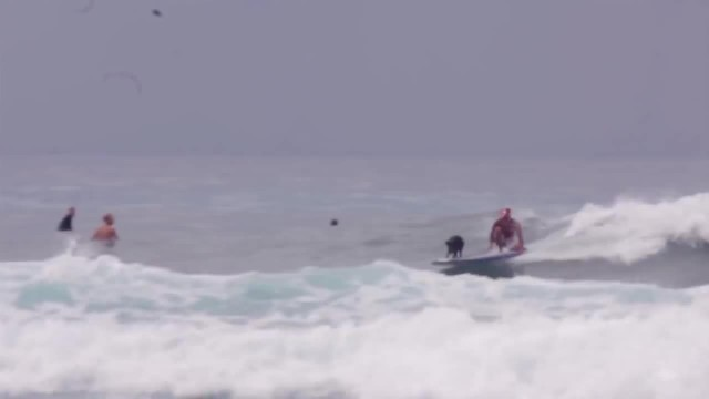 This pig surfs better than you ever will