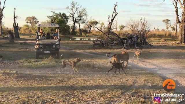 Brave Lioness Invites The Pack Of Wild Dogs So That She Could Protect Her Cub