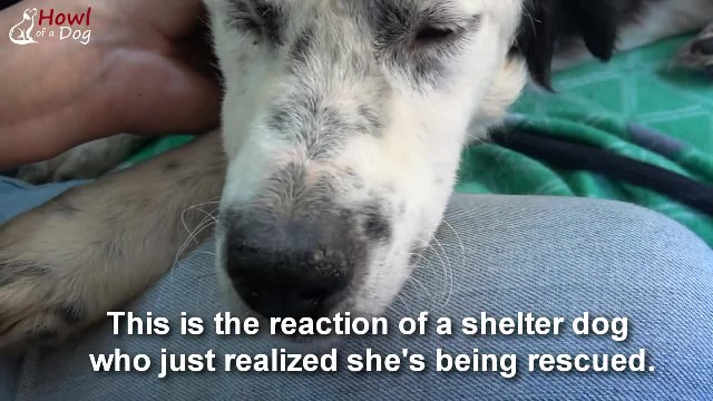 After realizing she's finally safe, neglected shelter dog falls asleep in her rescuer's arms