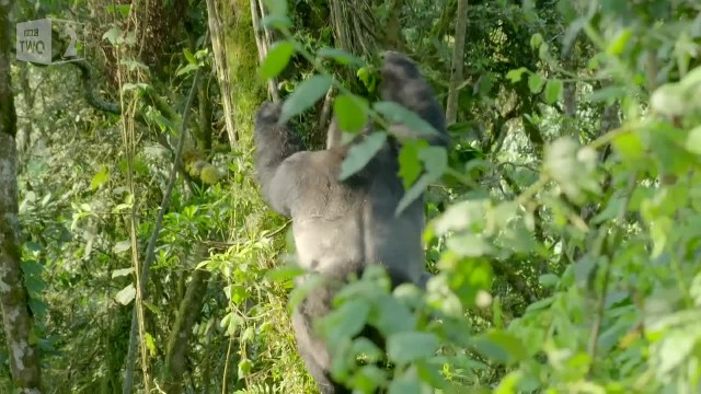 Silverback gorilla makes sure his family safely crosses the road 2