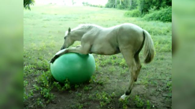 4 months old colt tries so hard to 'hug' his new friend, but the large green ball 'refuses'!