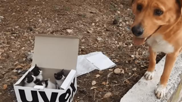 Dog finds a box of abandoned kittens, and now he's become the best foster dad to them