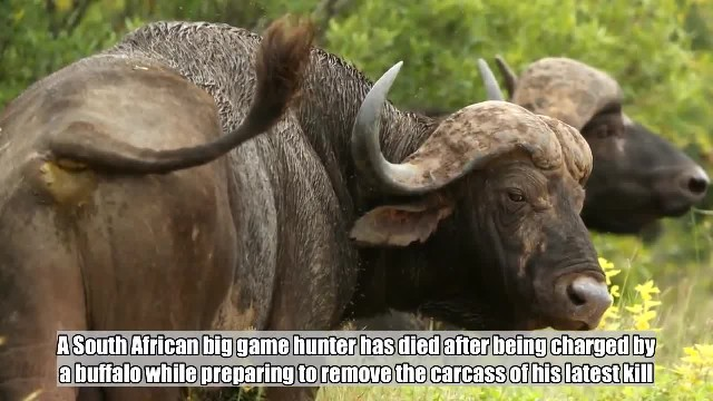 Hunter gored by buffalo after killing herd member