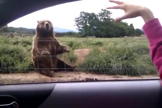Woman waves at bear from car only to get response that has her buckled over laughing