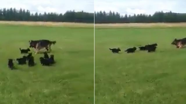 German shepherd mom knows exactly how to tire her puppies