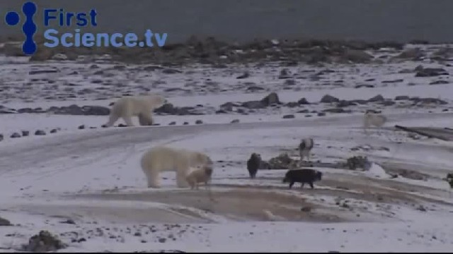 Giant Polar Bear Grabs Husky From The Back, But Keep Watching