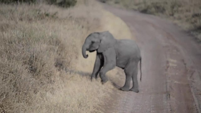 Baby elephant throwing a tantrum