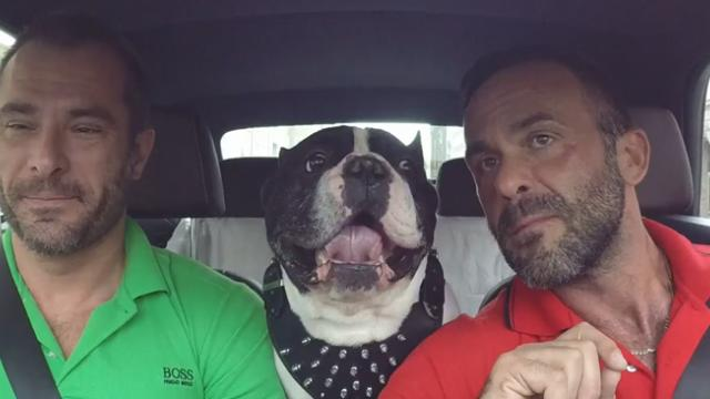 Two guys start speaking French in the car, so talkative French bulldog gives it his best shot