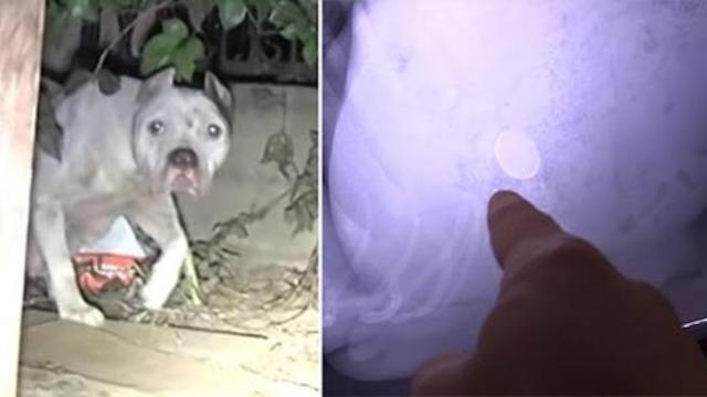 Vets find something foreign inside mama dog when she keeps whimpering after rescue
