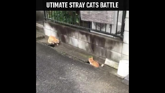 Stray cats get into a battle, but when you think they're ready to attack, it turns into most hilario