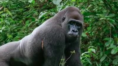 Zookeeper's eyes bulge at discovering gorilla's secret inside closed fist