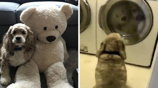 Cocker spaniel won't let his teddy bear out of his sight on laundry day