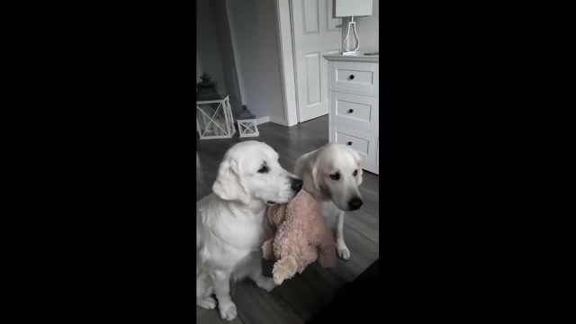Dogs take turns holding toy while other receives treats