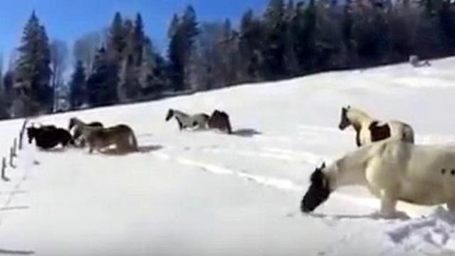 Horses are let loose in the snow - now keep your eyes on the