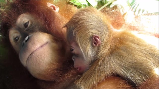 Orangutan Mom Is So Proud To Hug Her Newborn Baby