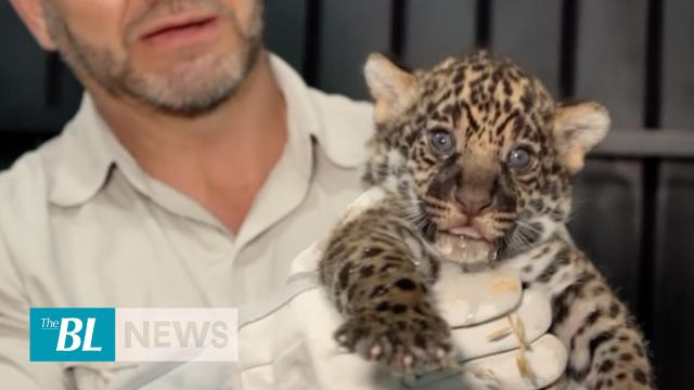 Two jaguar cubs born in Brazil wildlife reserve