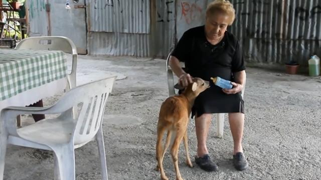 Old lady rescues baby deer—and their bond is just too cute for words!