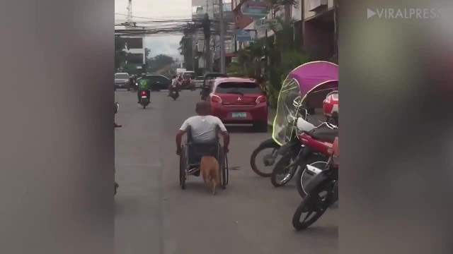 Caring dog pushes his owner's wheelchair everyday