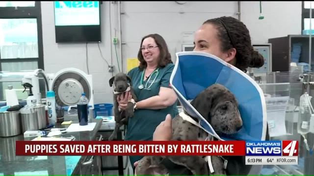 Five great dane puppies bitten by the same rattlesnake are saved by rare injection