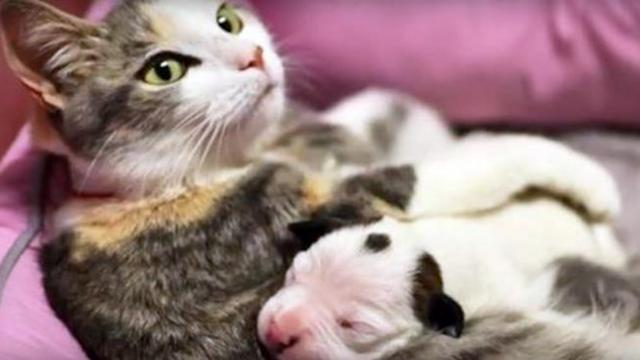 Motherly cat helps rescue newborn pit bull puppy