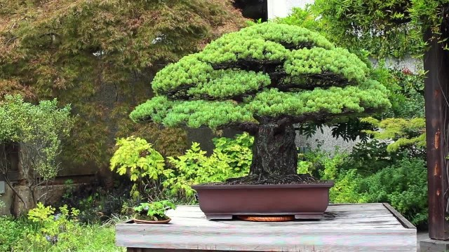 This Bonsai Has Survived 392 Years And Not Even The Hiroshima Bombing Could Kill It
