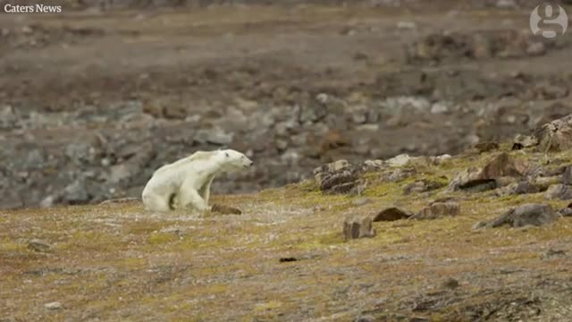 "Filmmakers ""Stood There Crying"" As They Helplessly Captured A Polar Bear Starving"