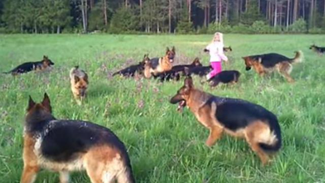 Little girl plays with 14 German shepherds - This is what heaven must be like!