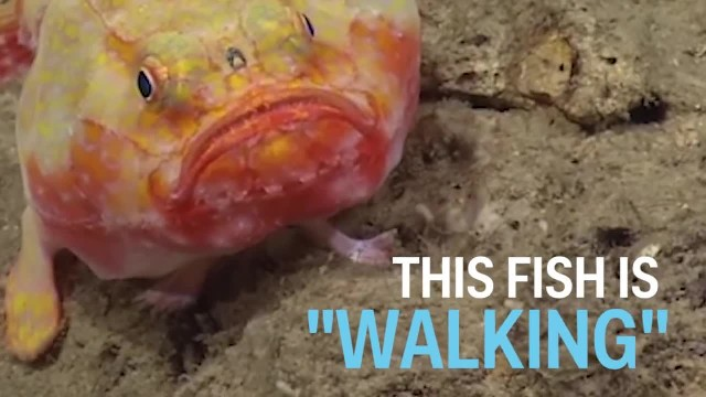 "Scientists capture an amazing video of a deep sea fish with ""feet"""