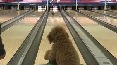 Puppy's family owns a bowling alley, teaches him to bowl and catches it all on video