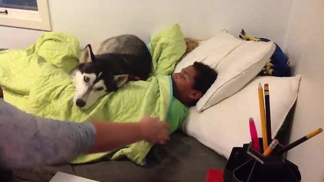 Mom's trying to get her son out of bed for school, but keep your eye on the husky
