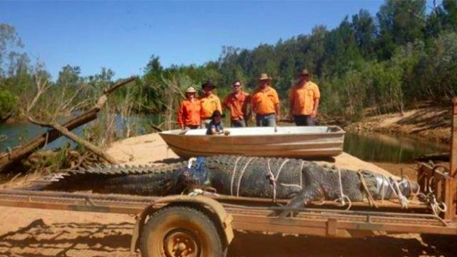 Australian rangers manage to capture 1,300 Pound crocodile after