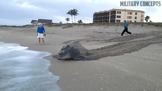 World's Largest Sea Turtle! Giant Leatherback Sea Turtle!