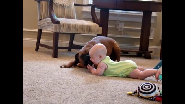 Baby can't stop laughing when she gets loving boxer's cuddles