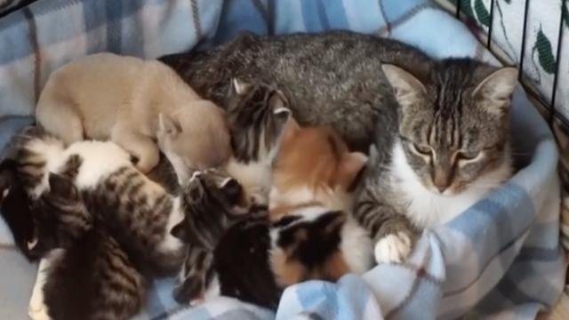 Tiny puppy gets placed between a bunch of kittens. When mama cat sees the intruder? Her reaction… ep