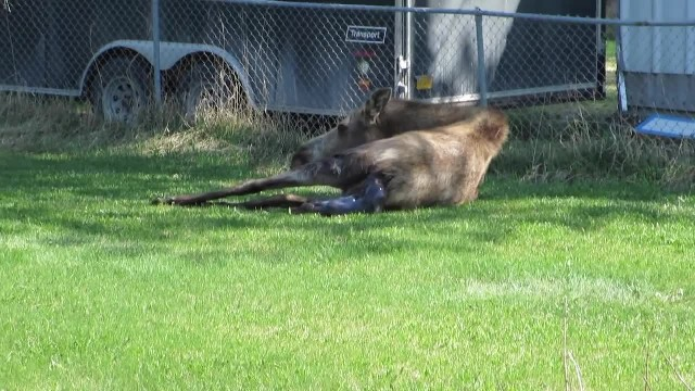 Moose gives birth to precious twins in woman's backyard