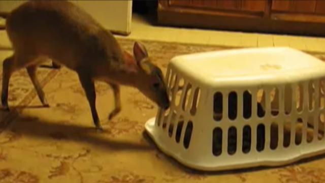 Bambi and a bobcat form an unlikely friendship under the same roof