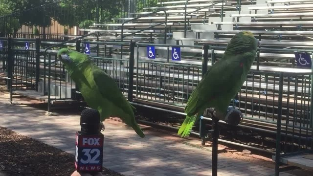 While being interviewed 2 birds abruptly break out in song