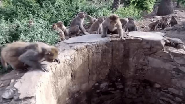 Monkeys team up to save drowning leopard