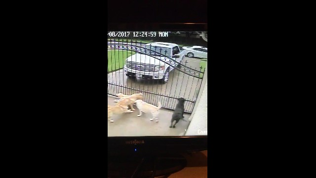 Mailman Caught on Camera with Dogs, How He Treats them Says it All