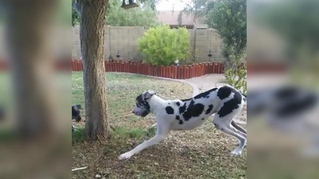 Great dane playfully attempts to hide behind tree and adorably fails