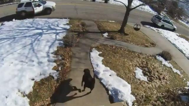 Family thinks labrador is 'scared of everything' until porch pirates come to steal mom's package