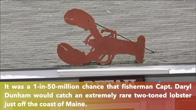 Rare two-toned 'Halloween lobster' found off Maine coast
